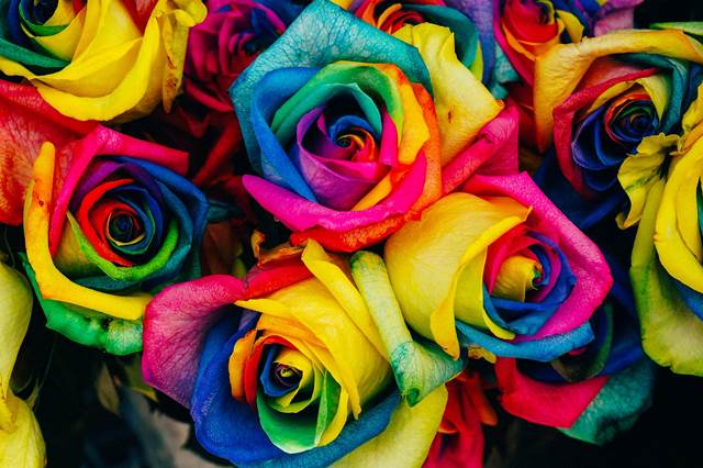 Rainbow Coloured Roses