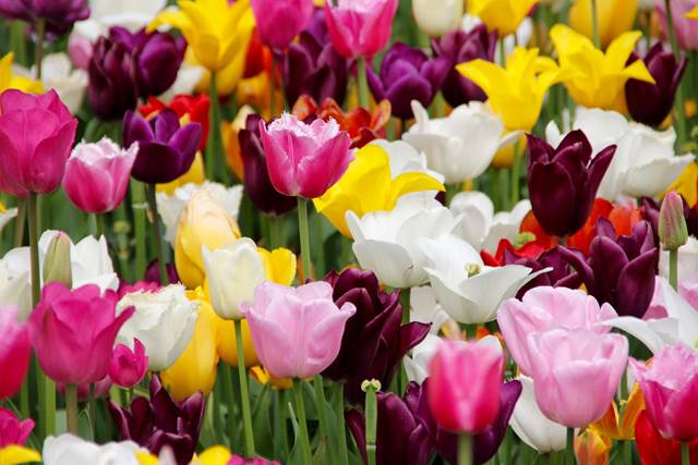 Colourful Tulips Funeral Flowers